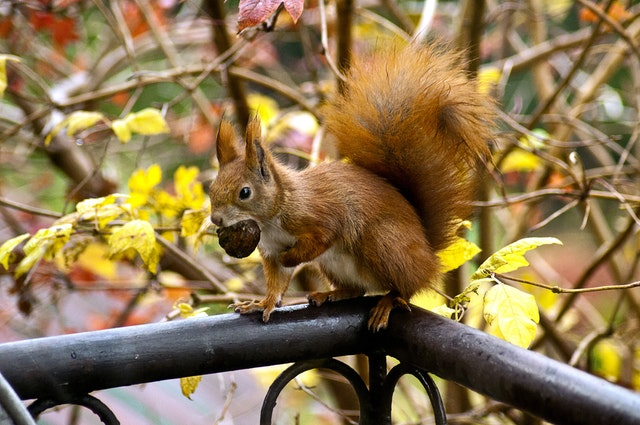 Ginger Squirrel 16484
